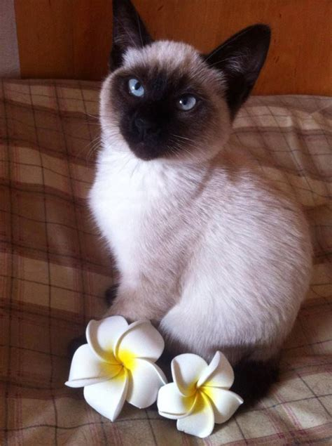 760 best images about SIAMESE