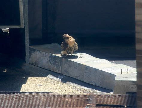 Fledgling chases birds, rests on NYU building – June 27th
