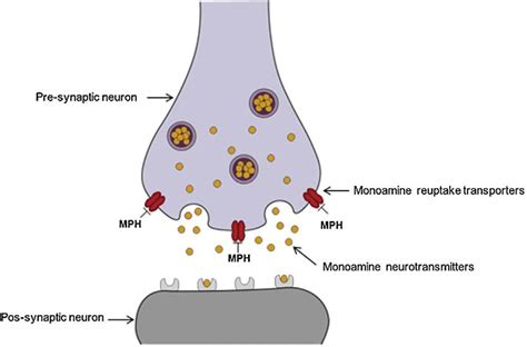 Mechanism of action of MPH at the dopaminergic and